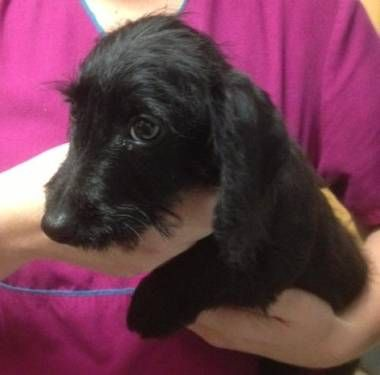 Mini Wire Haired Dachshund Chihuahua Mix This Looks Like Weinie Girl Wire Haired Dachshund Doxie Dogs Dachshund Love