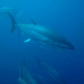 Something To Do In Malta Is Dive With Tuna Http Www Maltadirect Com Diving