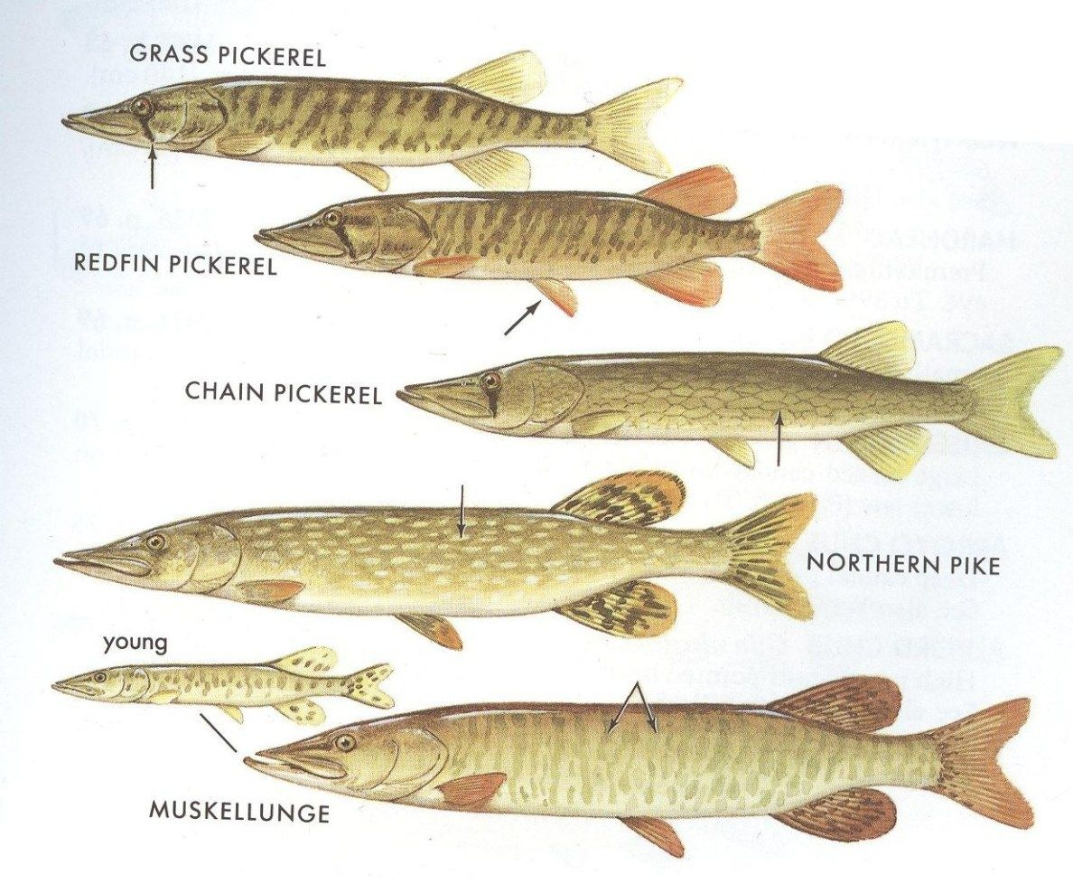 Northern pike and muskie are often times confused for each other northern pike and muskie are often times confused for each other while smaller pickerel are geenschuldenfo Image collections