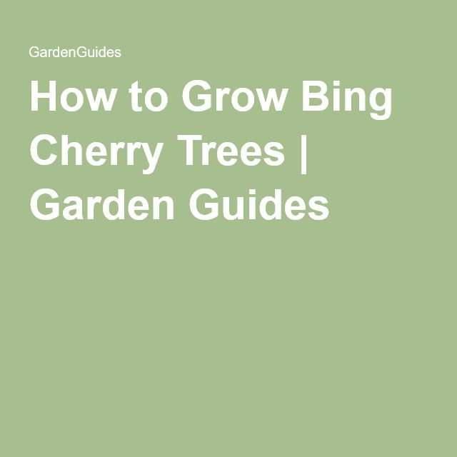 How to Grow Bing Cherry Trees | Garden Guides