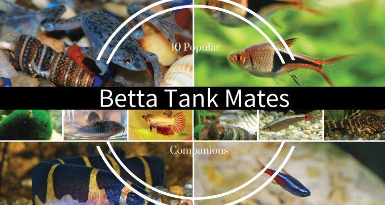 Betta fish tank mates beta care pinterest terrario for What fish are compatible with betta fish
