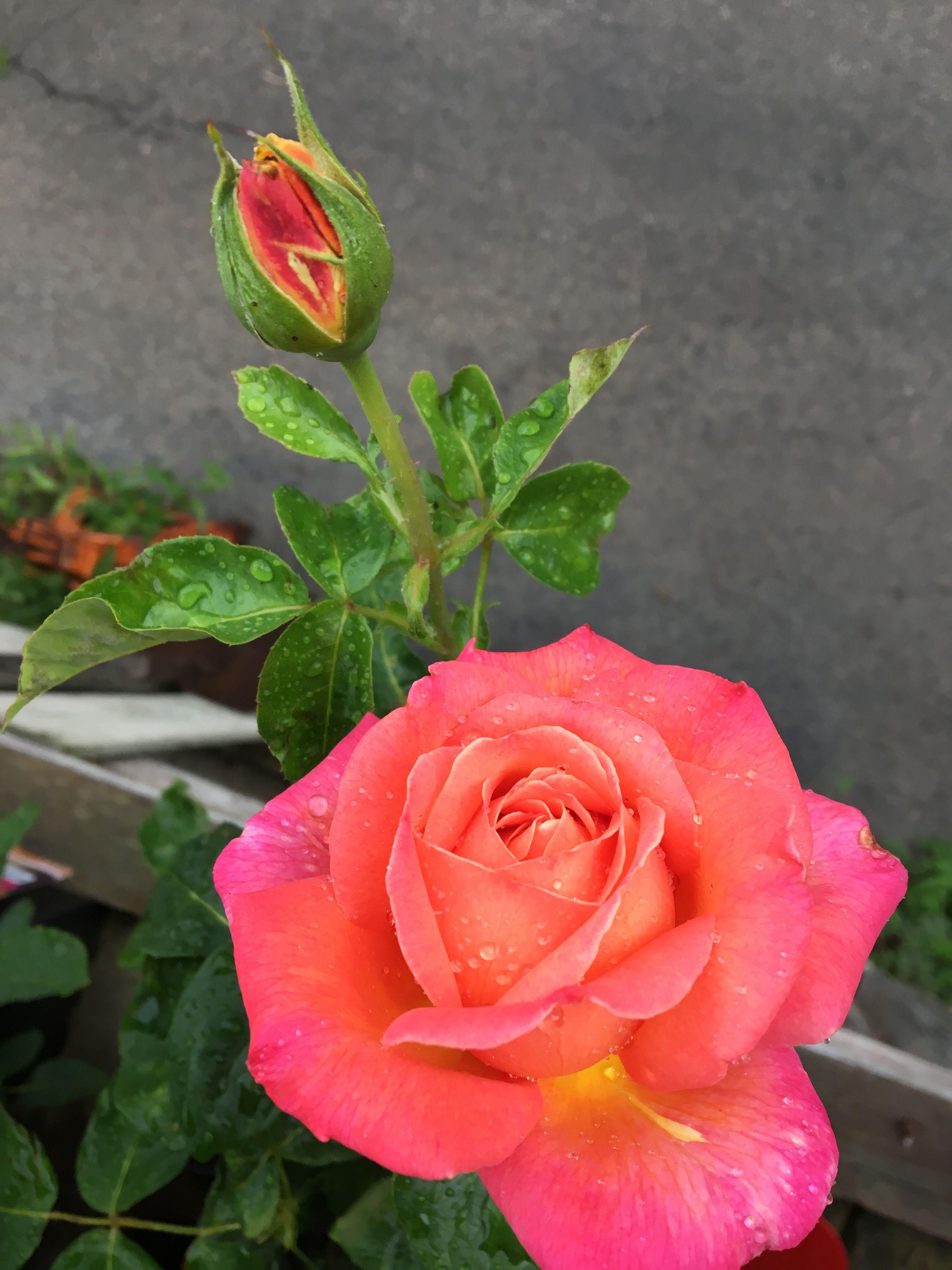 Pin De Leonor Moreno En Rosas