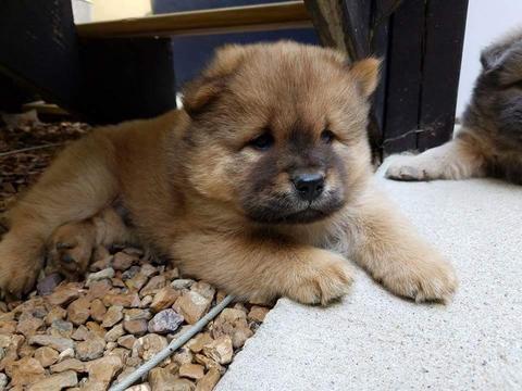 Chow Chow Puppy For Sale In Decatur Il Adn 45212 On Puppyfinder