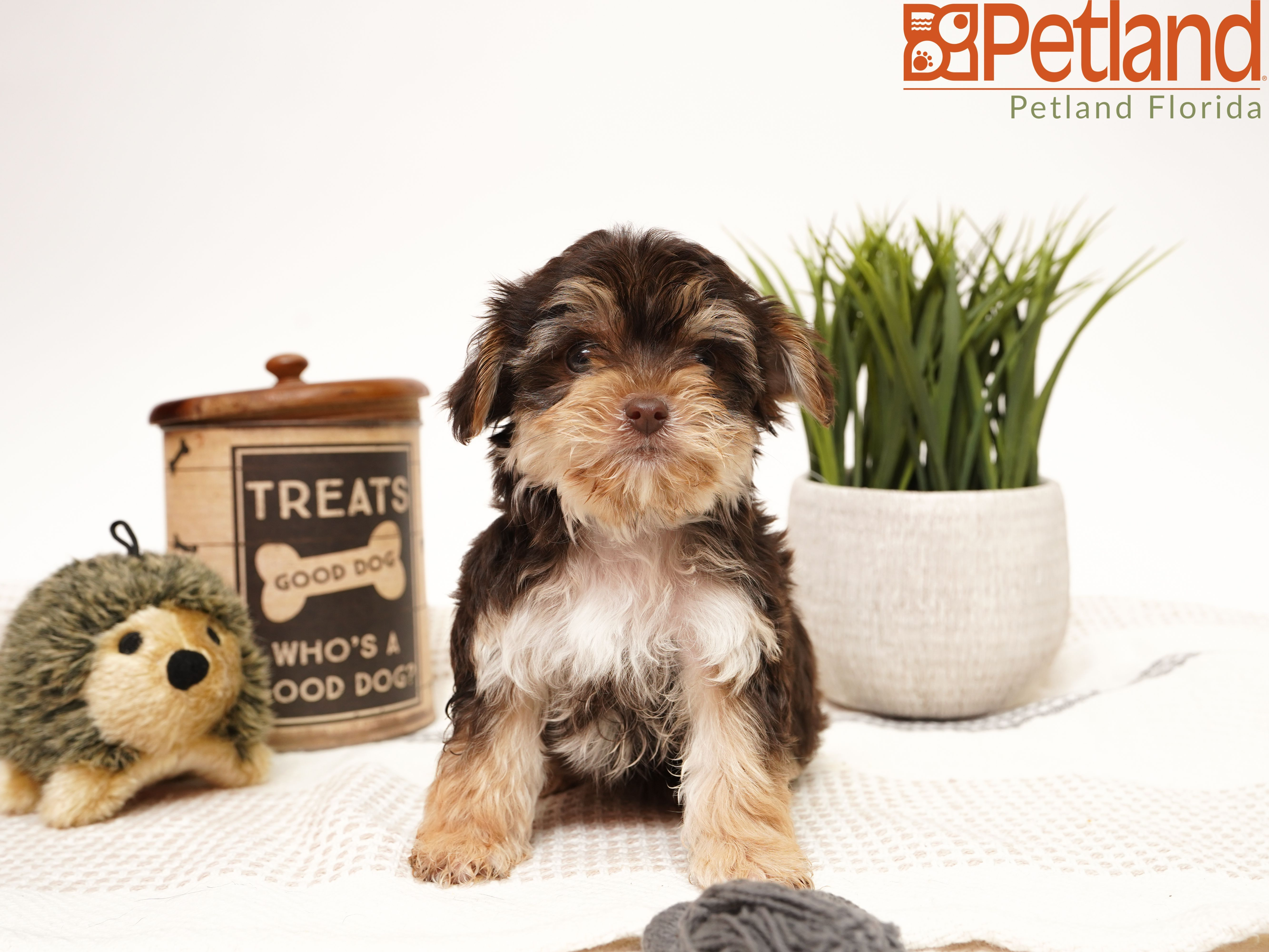 Petland Florida Has Morkie Puppies For Sale Check Out All Our Available Puppies Morkie Petlandkendall Petland Petl Puppy Friends Morkie Puppies Puppies