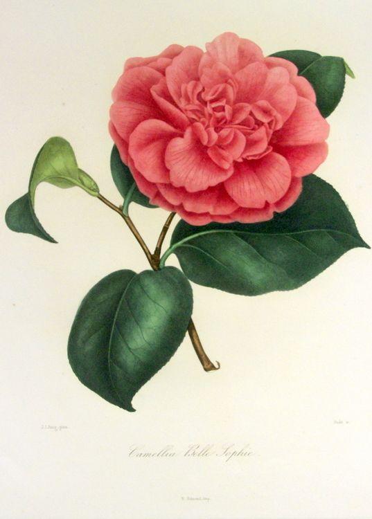 Camellia Belle Sophie Plate 96 Tatuajes