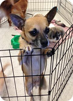 Pin By Marta Iturribarria On Adoptable Chihuahuas Dogs