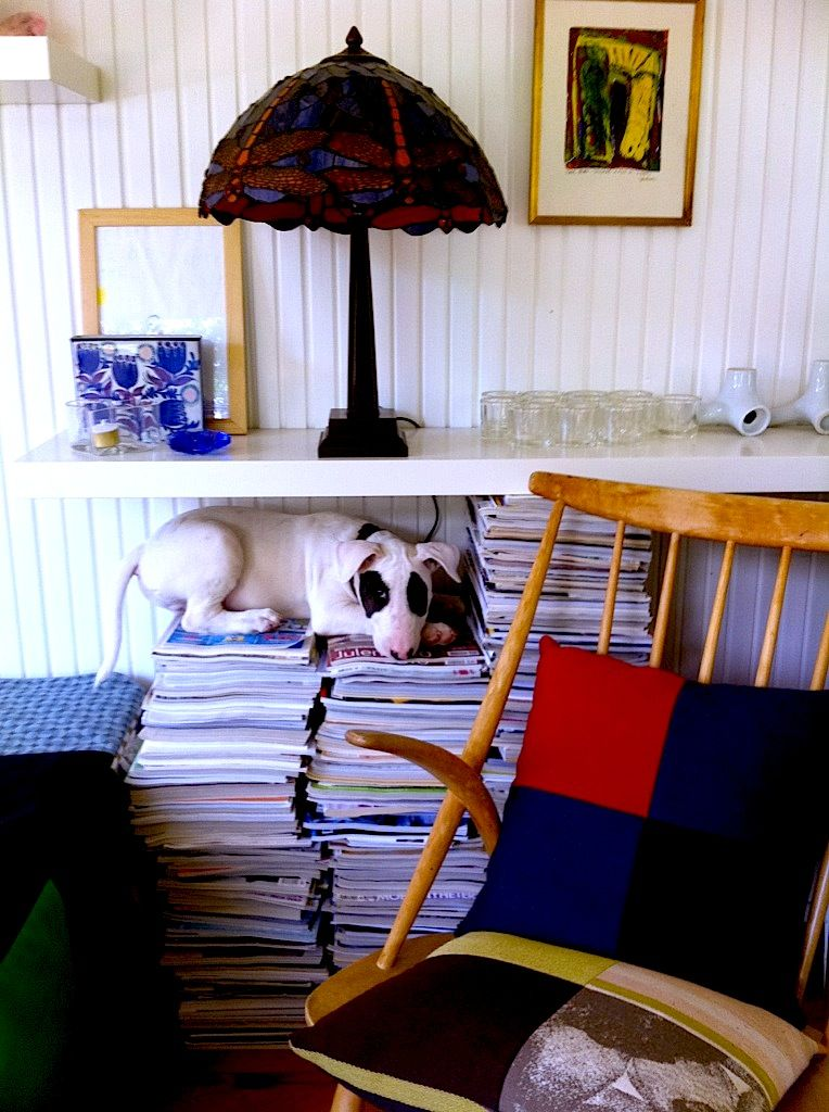 The Bandit - a 10 weeks old bullterrier on the top of our magazines in the guest house....