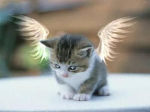 Gatito angel