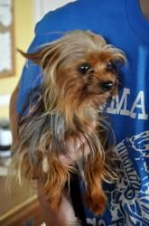 Adopt Lillie Must Be Adopted With Billie On Yorkie Dogs Yorkie Yorkshire Terrier Dog