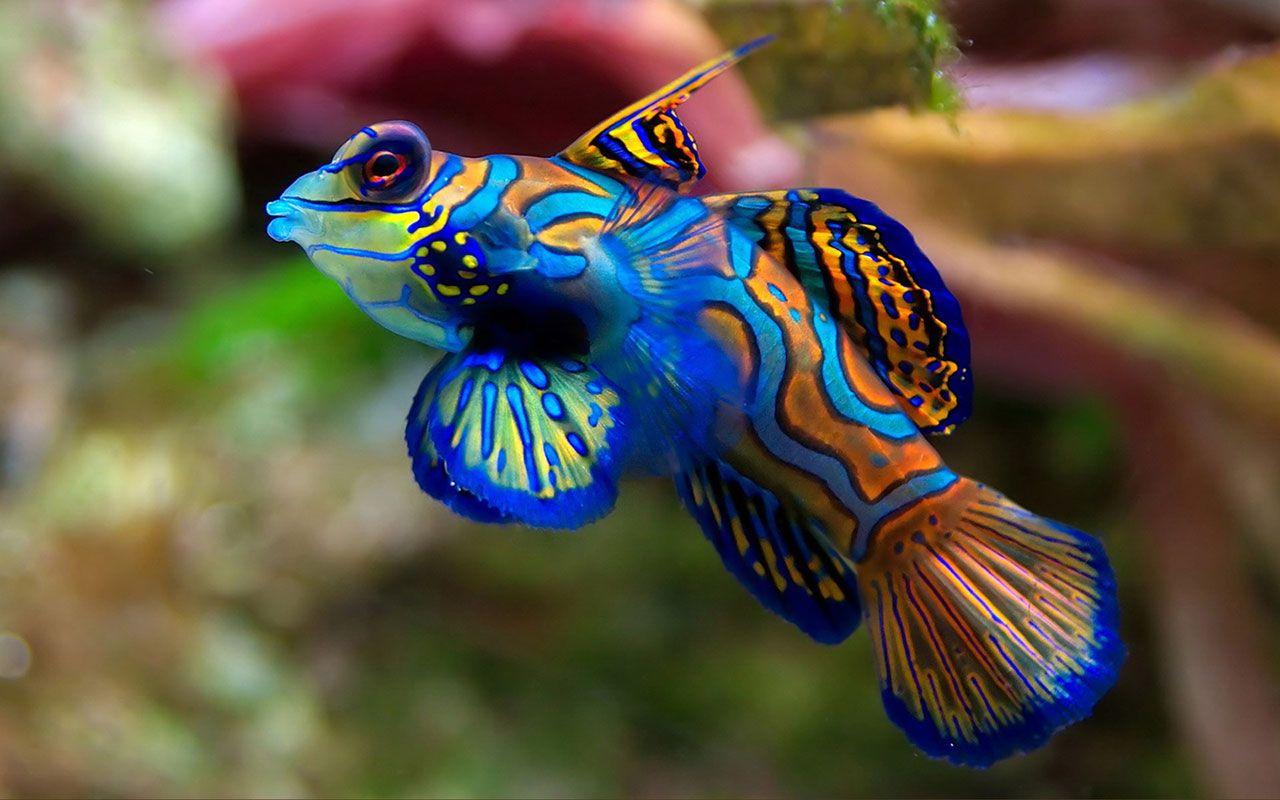 Water Wizard Tropical Fish Photography Mandarin Fish Beautiful Fish Sea Animals