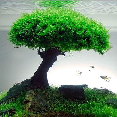 Vesicularia dubyana java moss     aquascape tree ...