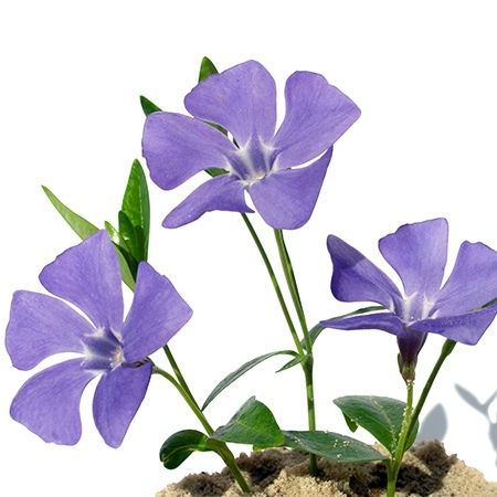 Symbolic Meanings Of Flowers That You Ve Been Wanting To Know Flower Meanings Periwinkle Flowers White Rose Symbolism