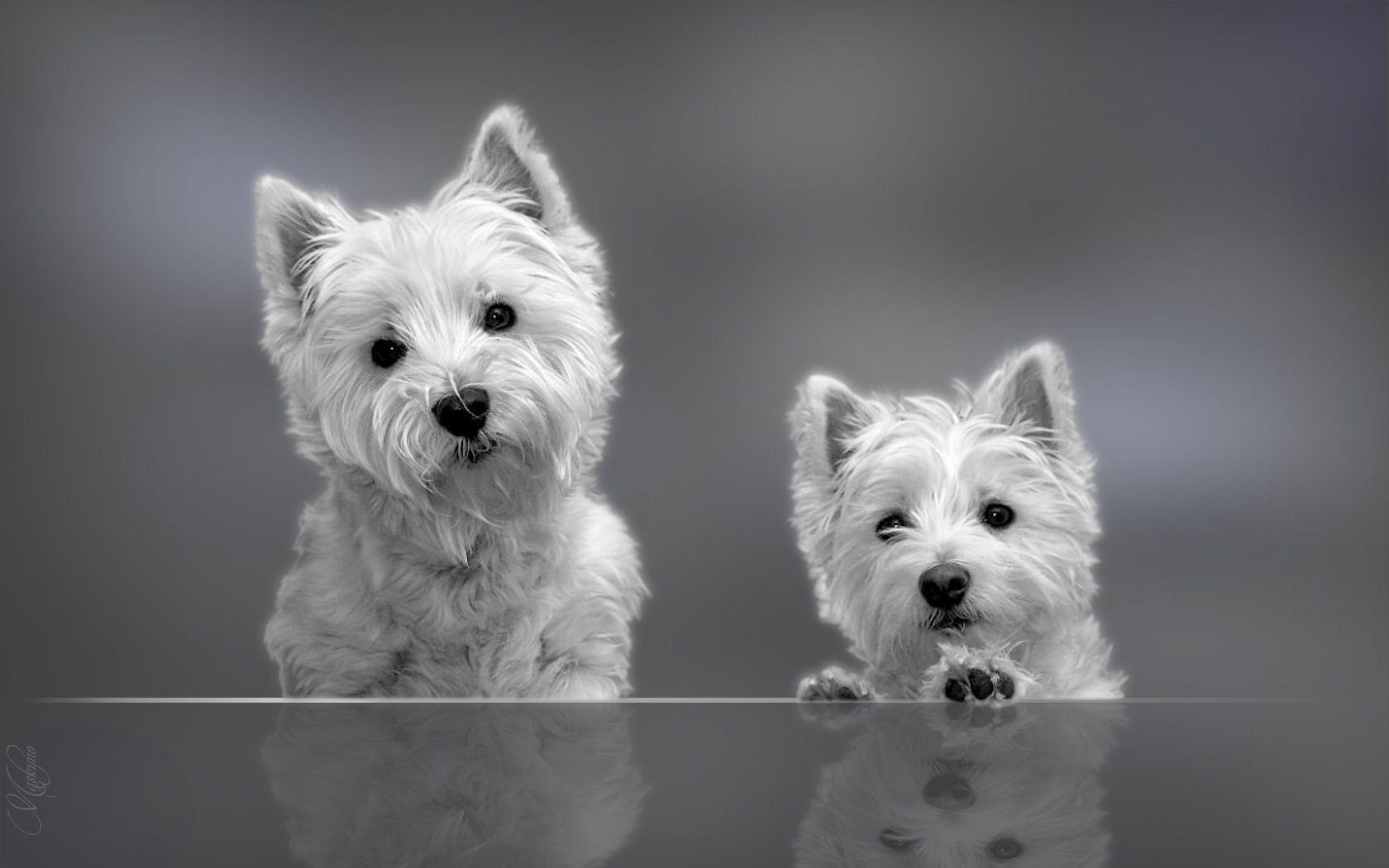 West Highland White Terrier Puppies Wallpaper WESTIES
