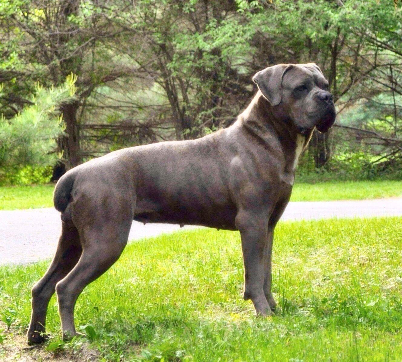 Females Cane Corso Dog Corso Dog Cane Corso