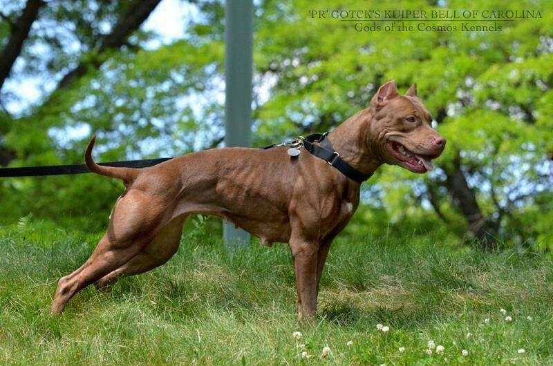 Pitbull Pitbull Terrier American Pitbull Terrier Pitbulls