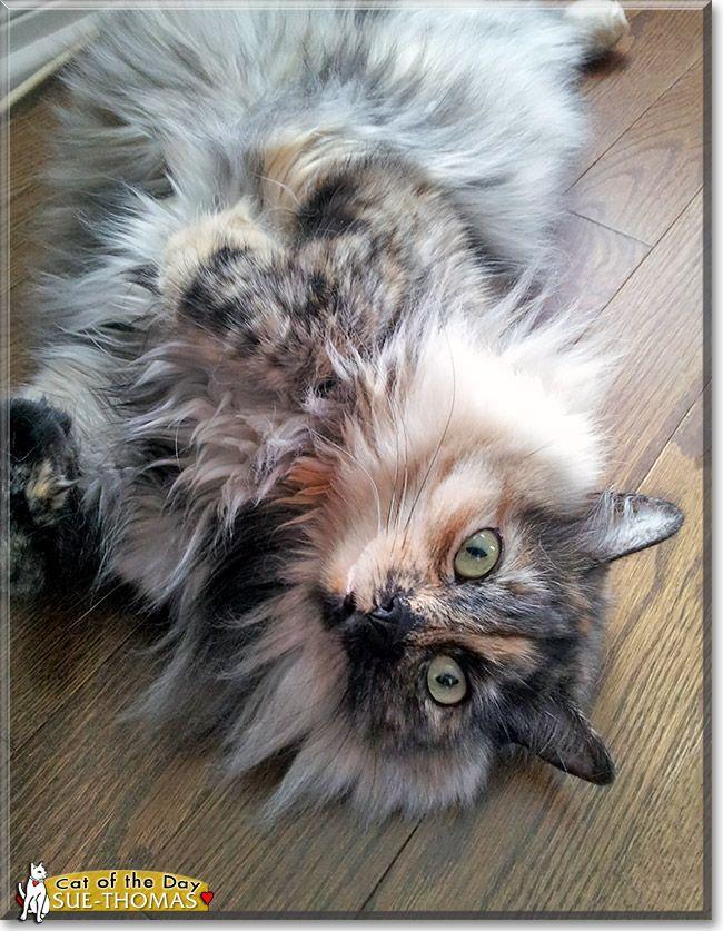 Sue Thomas Tortoiseshell Long Hair December 4 2013 Cat Day Cats And Kittens Kittens