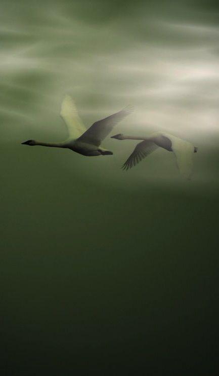 "Green | Grün | Verde | Grøn | Groen | 緑 | Emerald | Colour | Texture | Style | Form | Swans ~ ""In-Flight."""