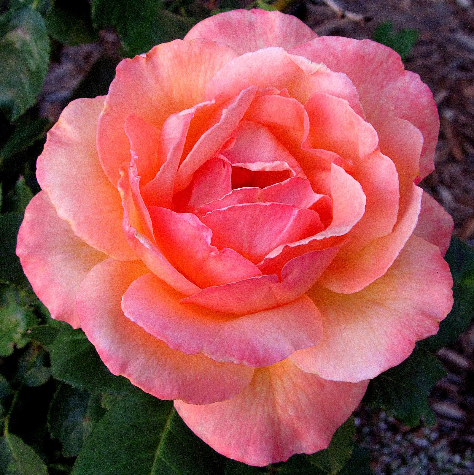 PhotographyByRoger: # 19 Pink Rose