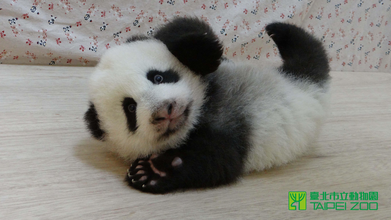 Cute Baby Panda Pics: Baby Panda Hd Background Wallpaper 37 HD Wallpapers