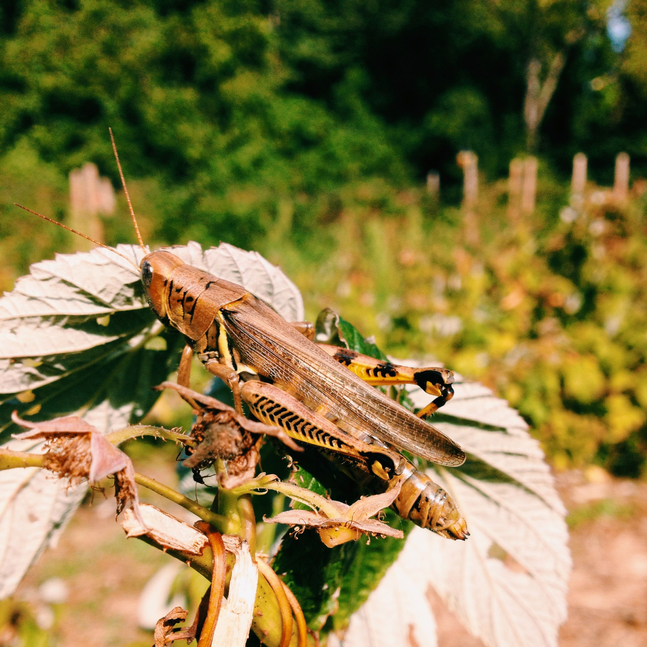 Grasshopper is blocking me from the raspberries! What the heck guy!