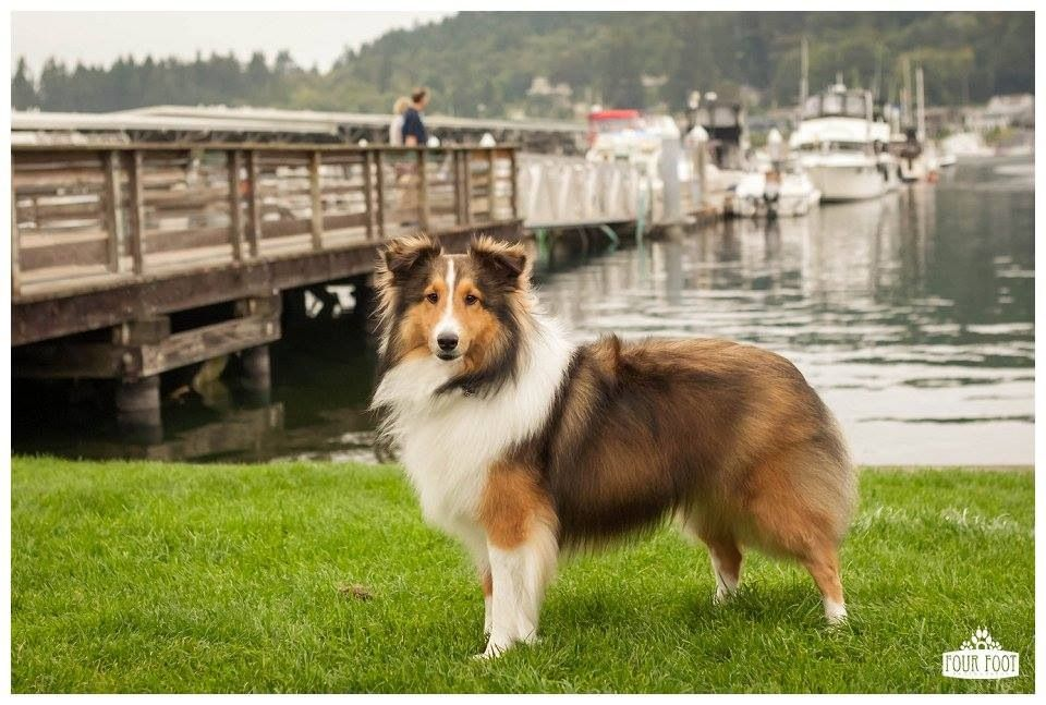Sheltie at the dock