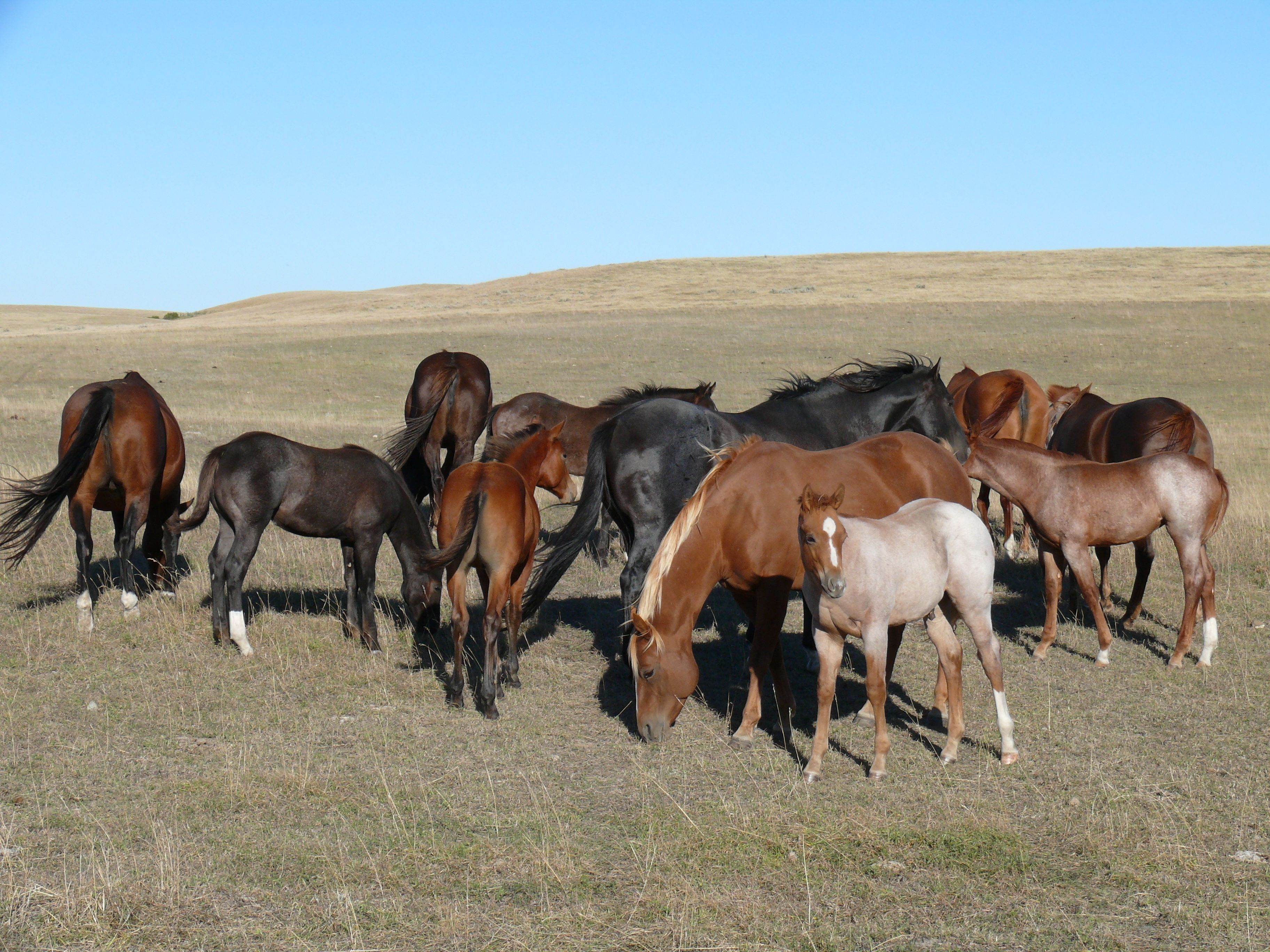 Some of the horses at McKinley Herefords south of Medicine Hat, Alberta.