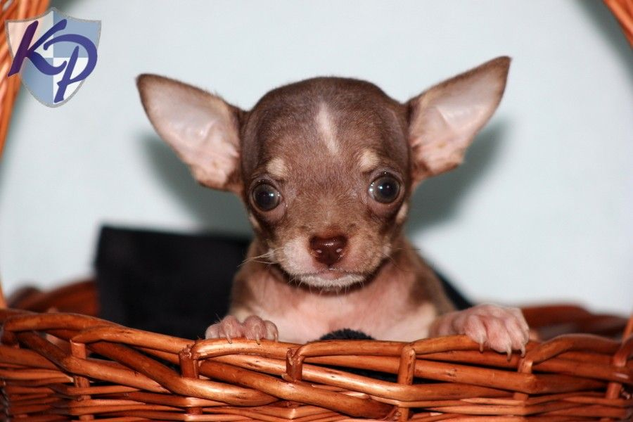 Zack Chihuahua Puppy For Sale In Watsontown Pa Lancaster