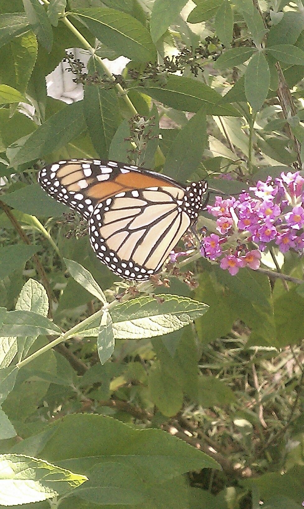 The butterfly bush comes by its name honestly Butterfly bush