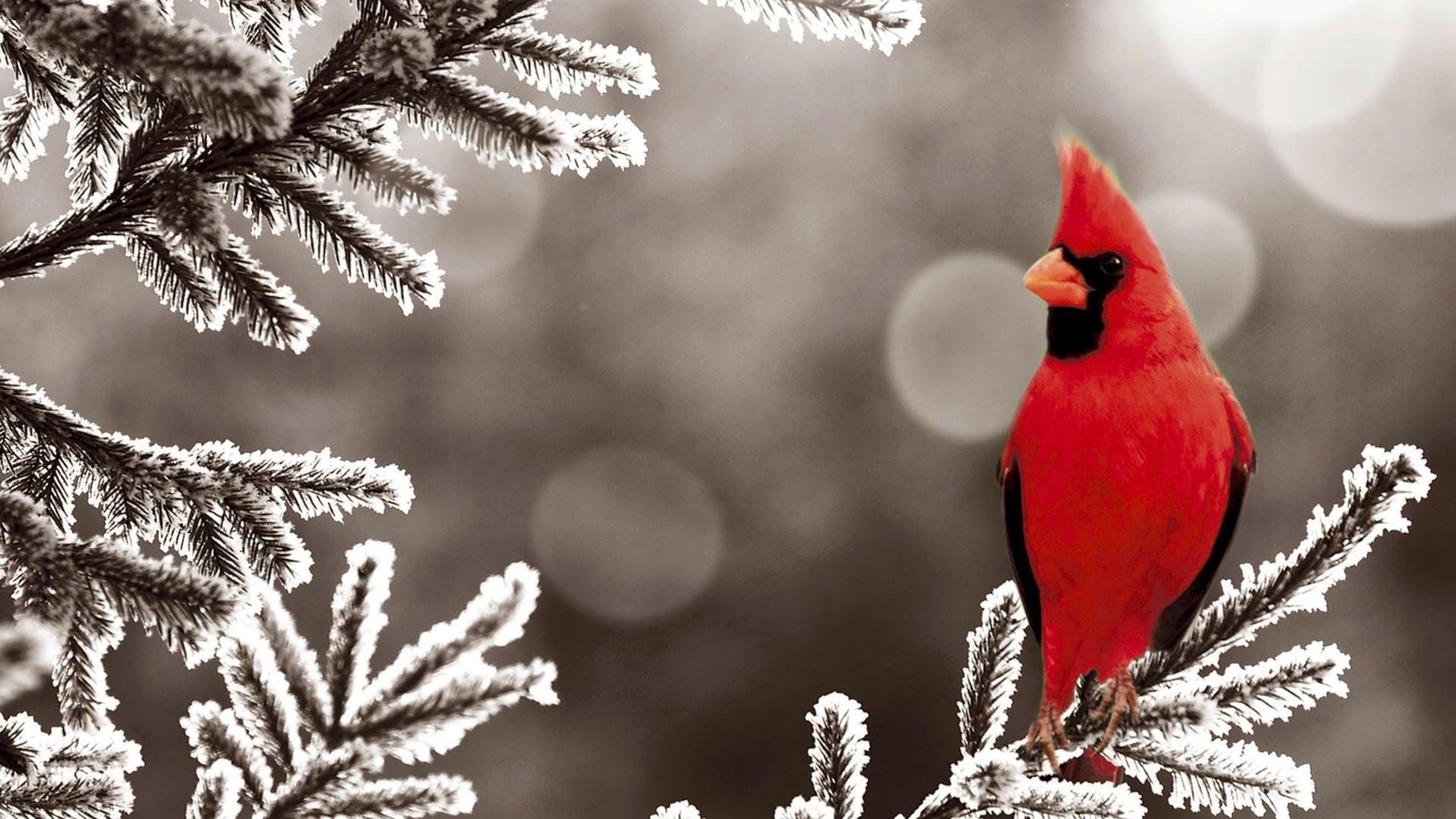 Red Cardinal 1080p Hd Wallpaper Birds Oiseaux