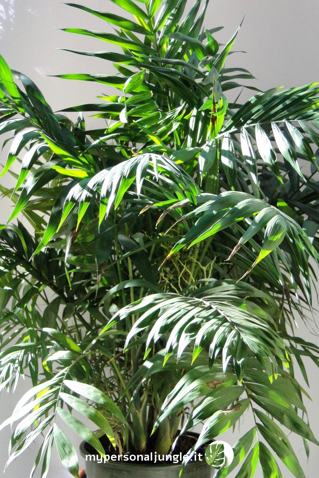 Chamaedorea: come coltivare la palma della fortuna (che ...