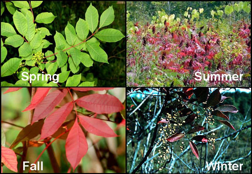 spring summer fall and winter poison sumac pictures nasty stuff