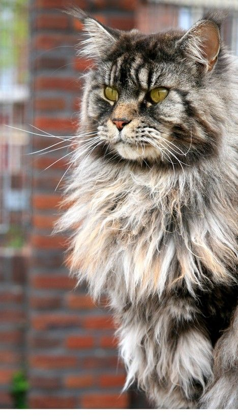 Woophy Download Norwegian Forest Cat Forest Cat Cats