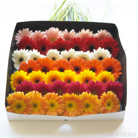 Wholesale Gerbera Daisies are widely used in bouquets and arrangements of wholesale flowers and wedding flowers for weddings and events. Their fun, festive and colorful blooms are widely recognized. They are considered a 'friendly' flower and are appropriate for gifts and decorations alike. Whether you are decorating for a wedding, event or casual backyard barbecue, think wholesale Gerbera Daisies! Visit www.GrowersBox.com for more information.
