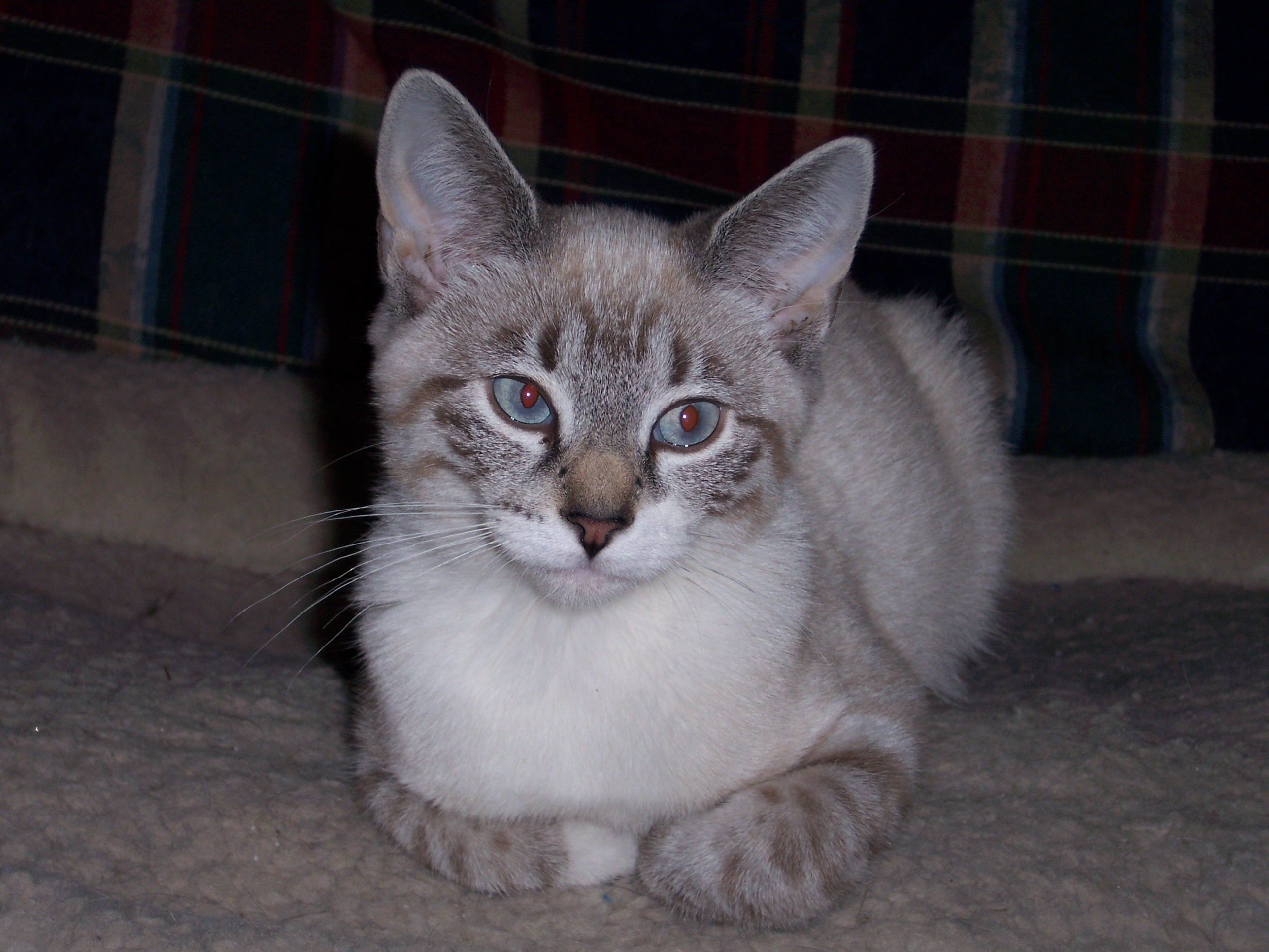 Lynx Point Cat Breeds Siamese Cats Siamese Kittens