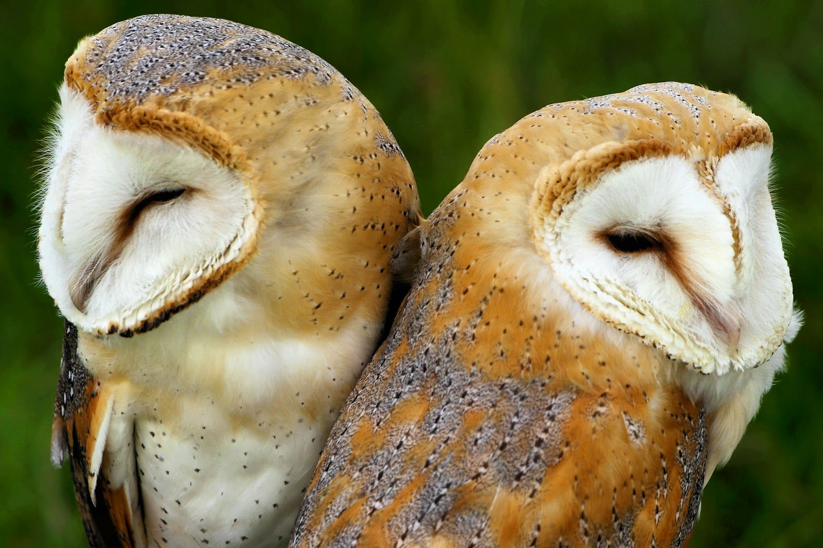 barn owls they mate for life and become very emotionally attached tobarn owls they mate for life and become very emotionally attached to their partner