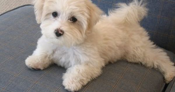 Maltese Terrier Poodle Cross Hardly Malts And Is Gorgeous Our