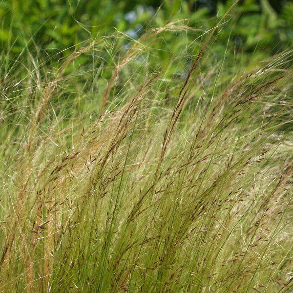 stipa tenuifolia ou cheveux d'ange, une jolie graminée