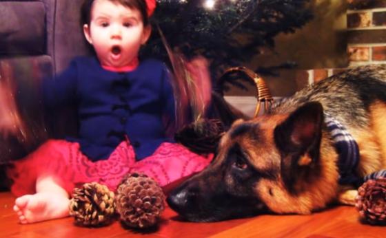 Sweet German Shepherd makes loveable babysitter (VIDEO)