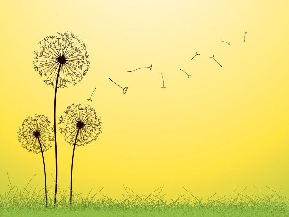Gambar Kartun Bunga Indah Terbaru Dandelion Dandelion Bunga Gambar