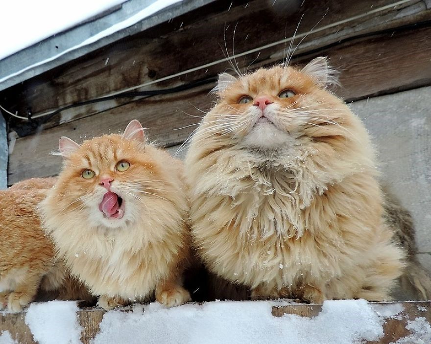 A Group Of Siberian Cats Have Taken Over A Russian Farm And The