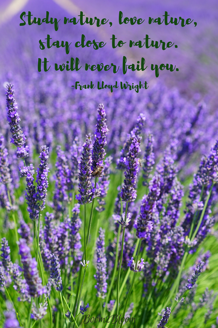 Poetry Musings Micropoetry Writingcommunity Lavender Flowers Quotes Prose Writingcommunity Poems Lavender Quotes Flower Poetry Flower Quotes