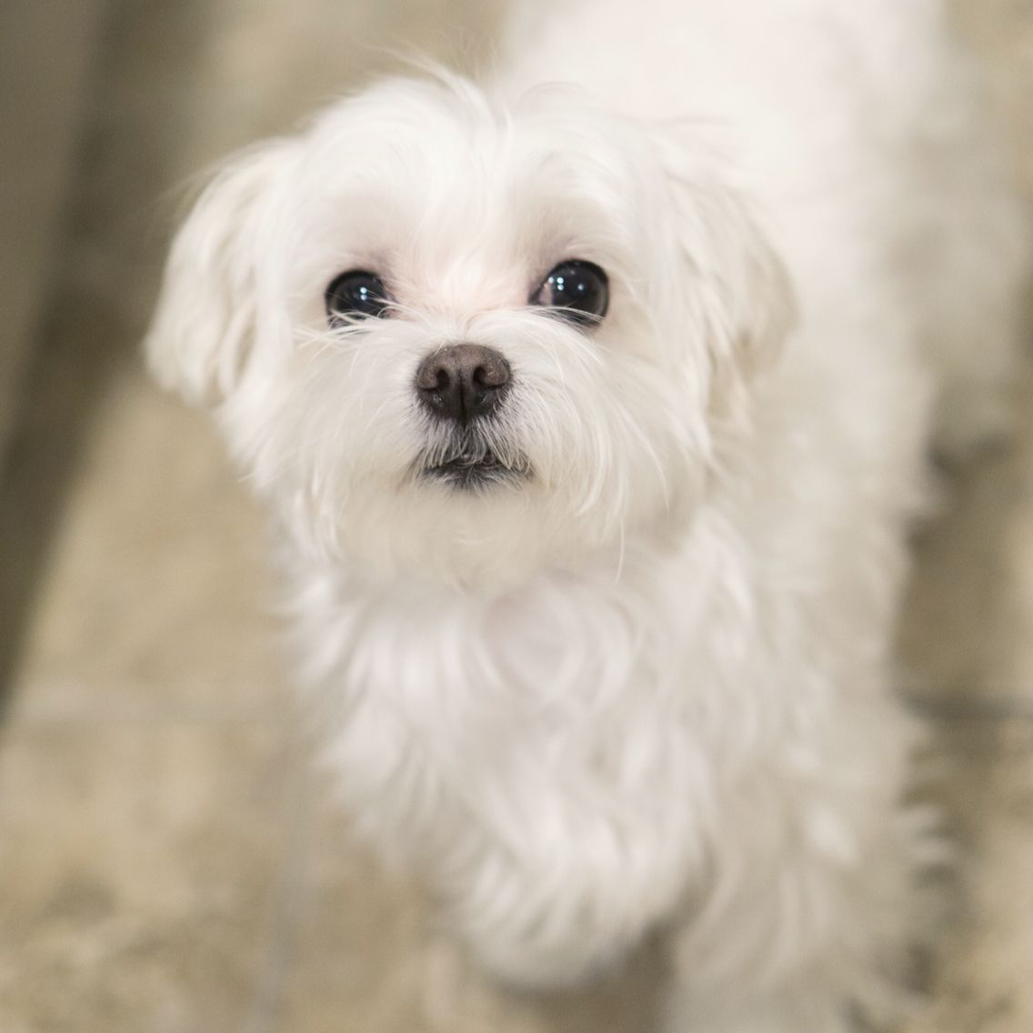 Adorable Maltese Maltese Cute Teacup Puppies Dogs Dog Breeds