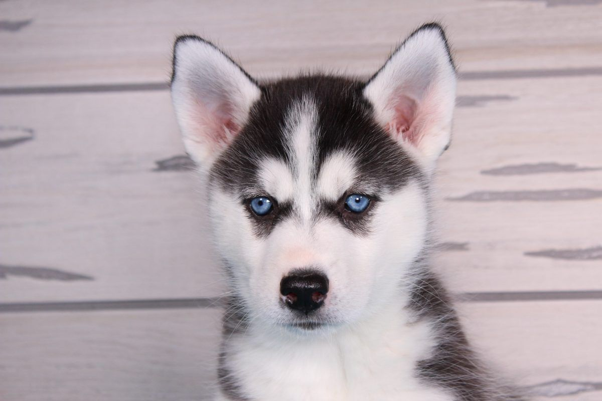 Jill A Female Siberian Husky Puppy For Sale In Nappanee Indiana