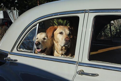 Golden Labs in vintage cab, Carefree, AZ