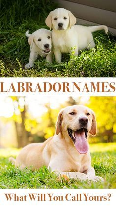 Labrador Names Hundreds Of Great Ideas To Help You Name Your Dog The Labrador Site Labrador Names Best Dog Names Dog Names Unique