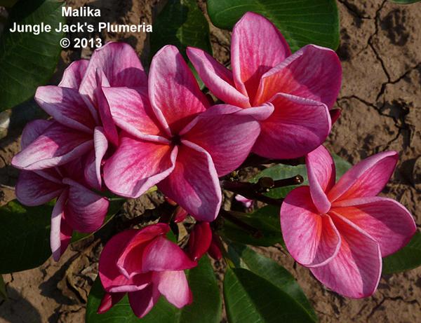 Malika Jungle Jacks Plumeria Tropical Flowers Frangipani