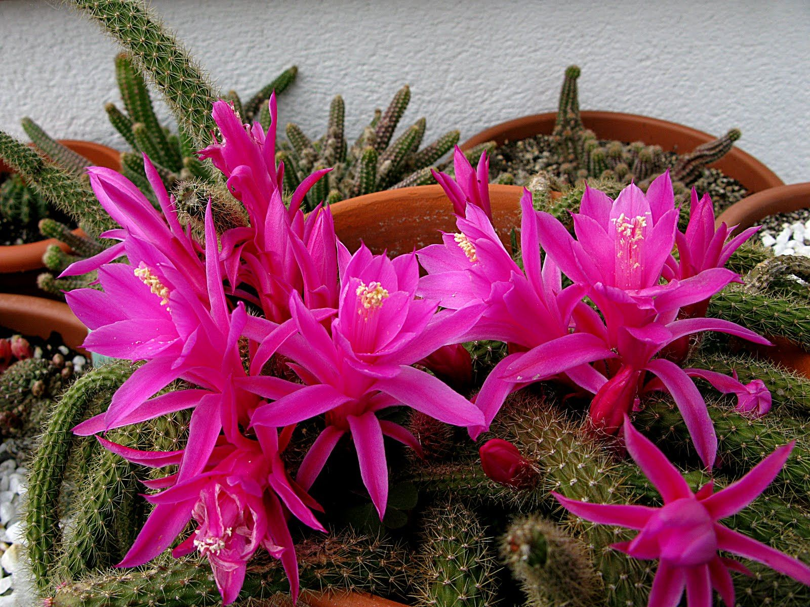 комнатные цветы кактусы фото и название