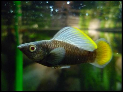 Akvariumnye Rybki Krasota Prirody Mollienesia Aquarium Fish Molly Fish Tropical Aquarium