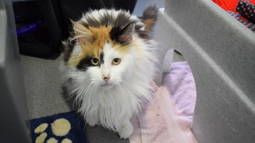 Elsa S Image With Images Cat Rehoming Cattery Calico Cat