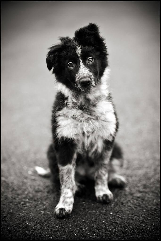 Pin By The Knick Knack Lady On Border Collies One Of Life S Treasures X Collie Dog Dog Photograph Collie Puppies